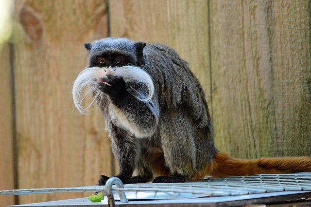 trpasličí opice