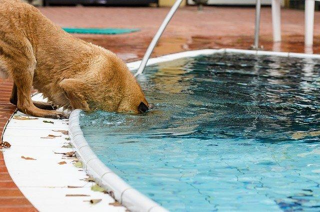 pes u bazénu